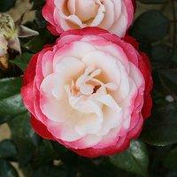 Rose 'Nostalgia' 3l potted bush