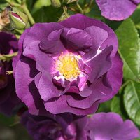 Rose 'Rhapsody in Blue' potted