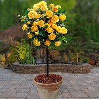 Patio Standard Roses - Pair Yellow 60cm tall bare root