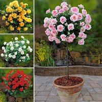Patio Standard Rose bush Collection - 4 bushes 60cm tall bare root
