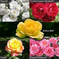 Garden Glamour Potted Rose Bush Collection - 5 Varieties in 3L Pots