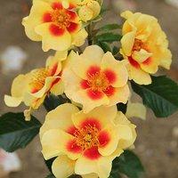 Premium Rose 'Eye of the Tiger' bush in 3L pot