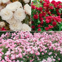 Classic Groundcover Roses - 3 x 9cm Potted Plants - Red, Pink & White