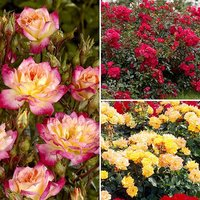 Fruity Groundcover Roses - 3 x 9cm Potted Plants - Yellow, Peach and Red