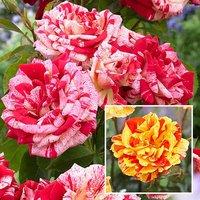 Pair of Bare Root Crazy Stripe Bicolour Roses