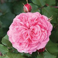 Old English Shrub Rose Pink bare root