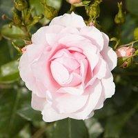 Old English Shrub Rose Blush White bare root