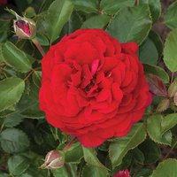 Old English Shrub Rose Red bare root