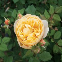 Old English Climbing Rose Yellow potted 3L