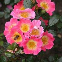 Pair Topolino Pink half std roses 3L