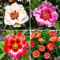 Babylon Eyes Bush Rose Collection 3 x 3L