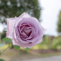Rose Blue Moon bare root