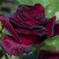 Rose Black Baccara bare root