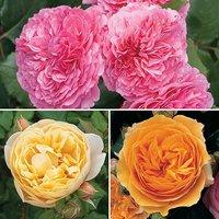 Old English Shrub Rose Collection x 3 b/r