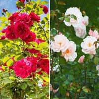 Pair Classic Mini Rambling Roses 3L