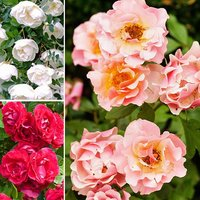 Groundcover Rose bundle 6 x bare roots