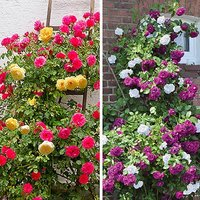 Duo Climbing Roses Set of 2 bare root