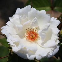 Rose of the Year 2019 Starlight Symphony 3L