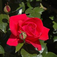 Climbing Rose Red Flame 4L
