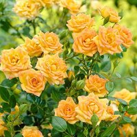 Rose The Fairy Yellow 2L