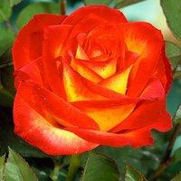 HT Rose