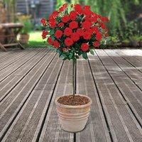 Pair of Red Half Standard Roses 80-90cm br