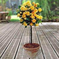 Pair of Yellow Half Standard Roses 80-90cm br