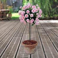 Pair of Pink Half Standard Roses 80-90cm br