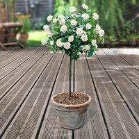 Pair of White Half Standard Roses 80-90cm br