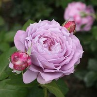 Premium Rose