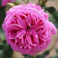 Premium Rose Sandringham