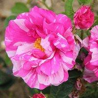 Premium Rosa mundi (galicia versicolor)