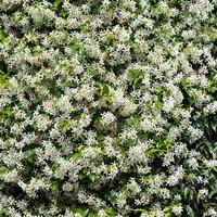 Trachelospermum jasminoides (Star Jasmine) vine plant 1M tall
