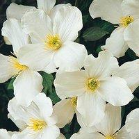 Clematis montana Grandiflora - pack x 3 plug plants