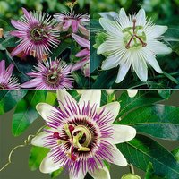 Passion Flower Collection x 3 plants