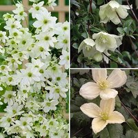 Evergreen Clematis Collection 3 x plants in 9cm pots - 3 var