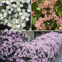 Clematis montana Collection 3 varieties in 9cm pots on cane 25cm tall