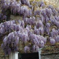 Wisteria chinensis Blue tree 3L pot 1.2 - 1.4M tall