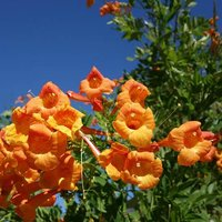 Exotic Bignonia capensis 'Cape Honeysuckle' Climbing Vine in a 3L Pot