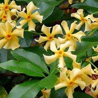 Trachelospermum jasminoides (Hardy Jasmine)