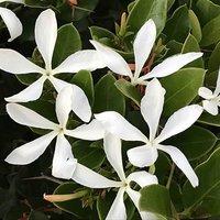 Jasmine azoricum Tripod 1.4M 5L pot