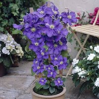 Boulevard Clematis Blue 5L 23cm pot on trelis