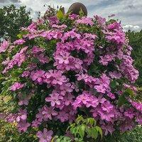 Boulevard Clematis Pink 5L 23cm pot on trelis