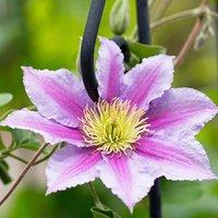 Clematis hybrid Pink 2L pot 60cm cane tripod