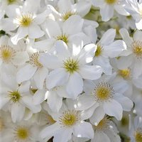 Evergreen Clematis Avalanche 15cm pot on canes 60-70cm