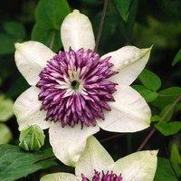 Clematis florida sieboldii 7cm