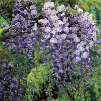 Grafted Wisteria Blue 2L 60-70cm on canes