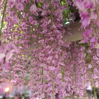 Grafted Wisteria Pink 2L 60-70cm on canes