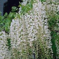Grafted Wisteria White 2L 60-70cm on canes