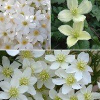 Premium Evergreen Clematis collection 3 Plants